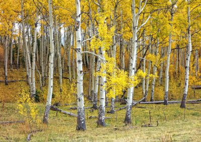Fall Aspen Grove_White River Natl Forest